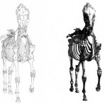Anatomy of the Horse (AMS105L)