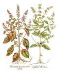 Hortus Eystettensis (BH105)