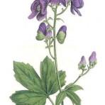 Botanical Magazine (BH113)