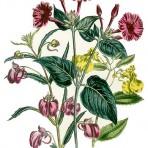 Ladies' Flower Garden of Ornamental Annuals (BH118)