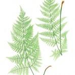 Nature Printed Ferns (BH121L)