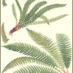 Cassells European Ferns (BH124)