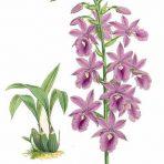 Illustrious Orchid Albumn (BH132L)