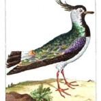 Histoire Naturelle des Oiseaux (Natural History of Birds) (BI102)