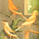 Cassell's Illiustrated Book of Canaries and Caged Birds (BI116)