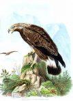 Die Raubvogel Deutschelands und des Angrenzenden Mitteleuropas (BI118) – The birds of prey in Germany and the neighbouring Central Europe