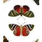 Papillons Exotiques des Trois parties (BU101)