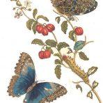 Metamorphosis insectorum Surinamensium (BU106L)