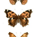 Histore Naturelle des Lepidopteres d'Europe (BU107) – Natural History of European Lepidoptera