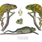 Naturgeschichte und abbildungen der reptilian (NH107)