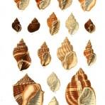 Thesaurus Conchyliorum (NH108L)