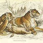 The Naturalist's Library of Big Cats (NH132)